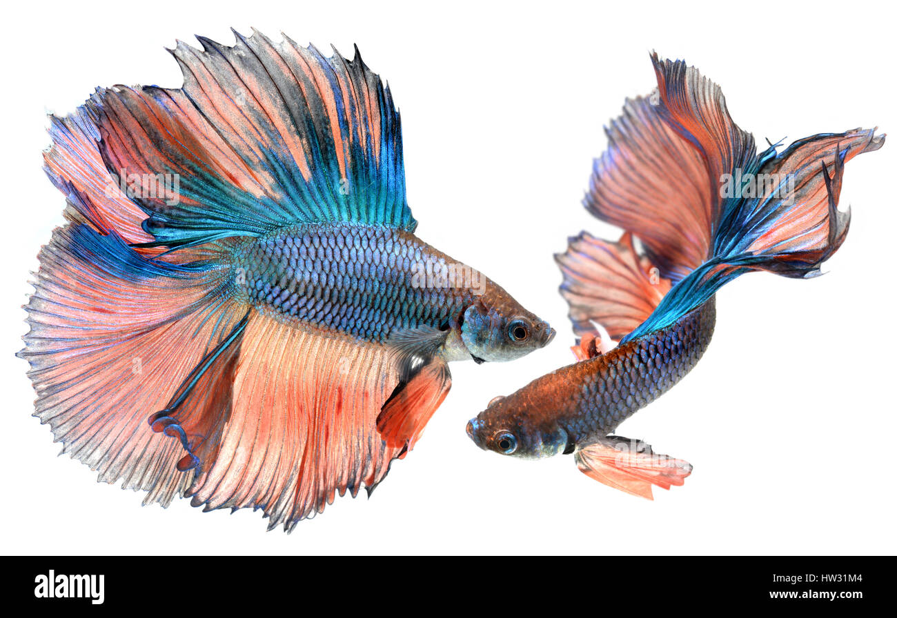 Betta fish in freedom action and show the beautiful fins tail photo in flash lighting. Stock Photo