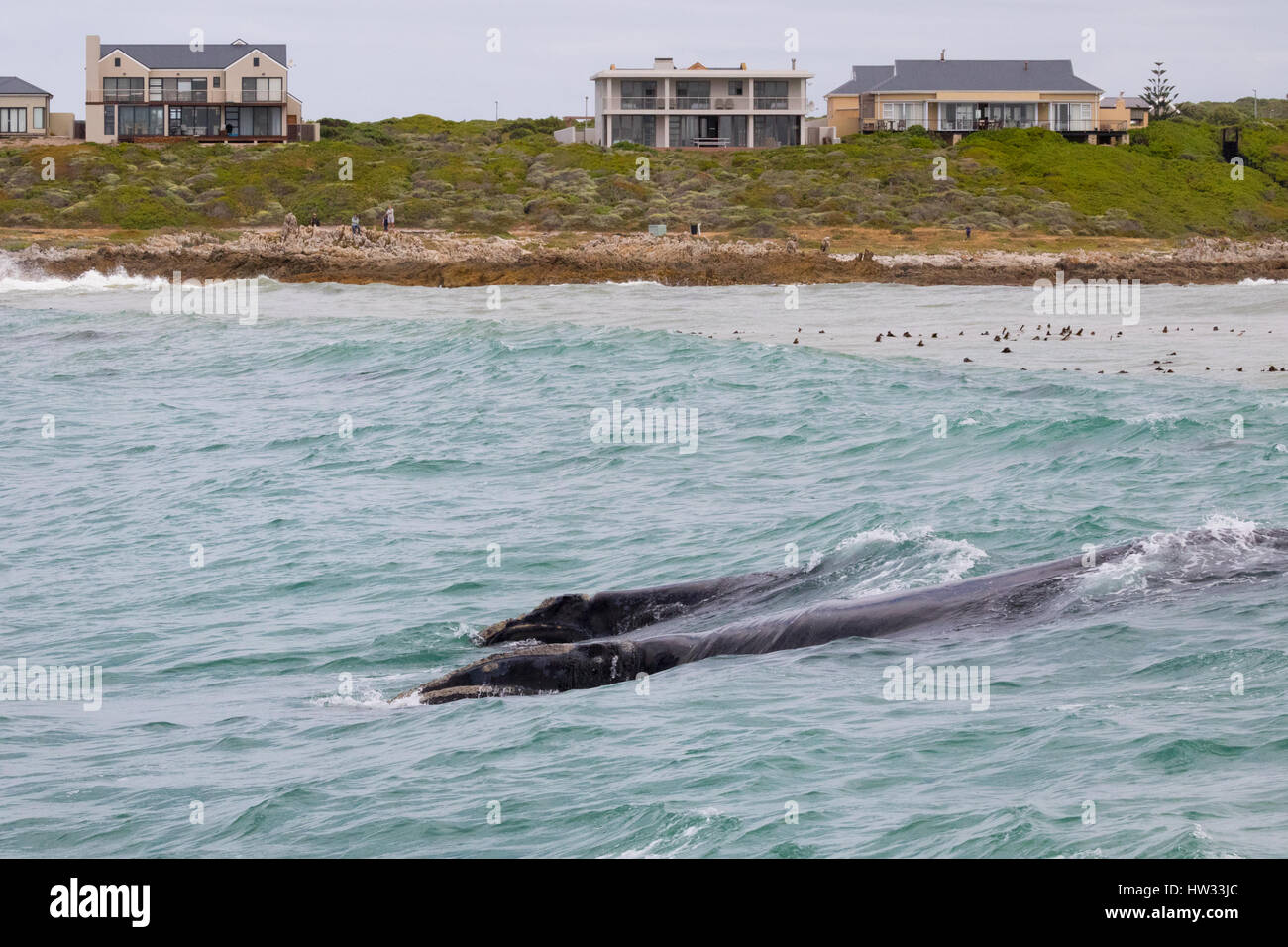 Whale watching South Africa - Southern Right Whale and calf, Eubalaena australis, off the coast at Gansbaai, Hermanus, - Stock Image