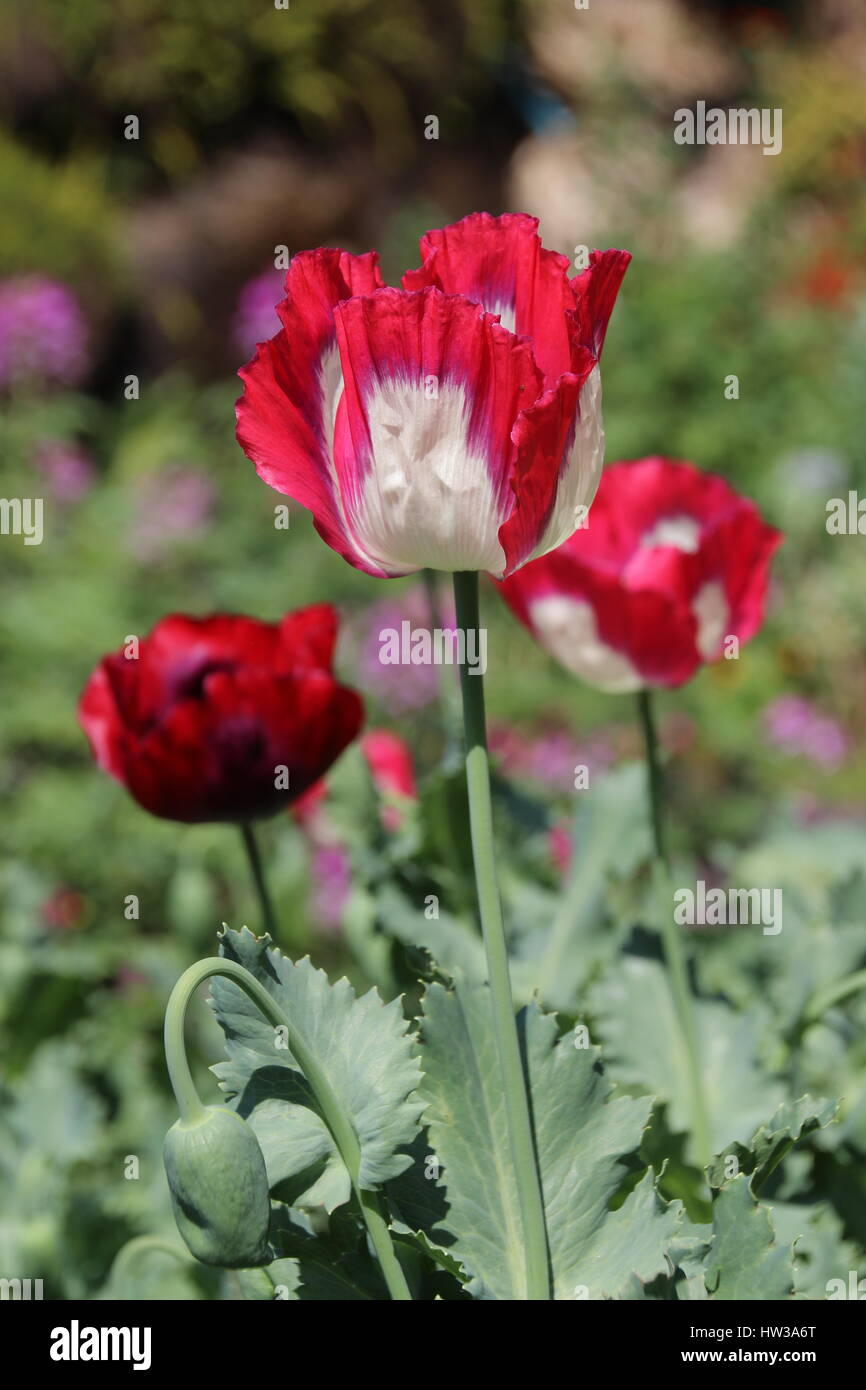 Opium poppy flowers stock photos opium poppy flowers stock images red opium poppy flower in chiang mai thailand stock image mightylinksfo