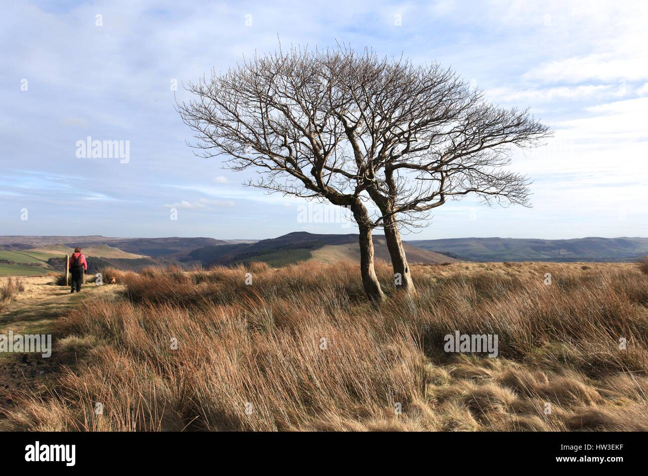Lone trees on Nether Moor, below Kinder Scout, Peak District, England - Stock Image