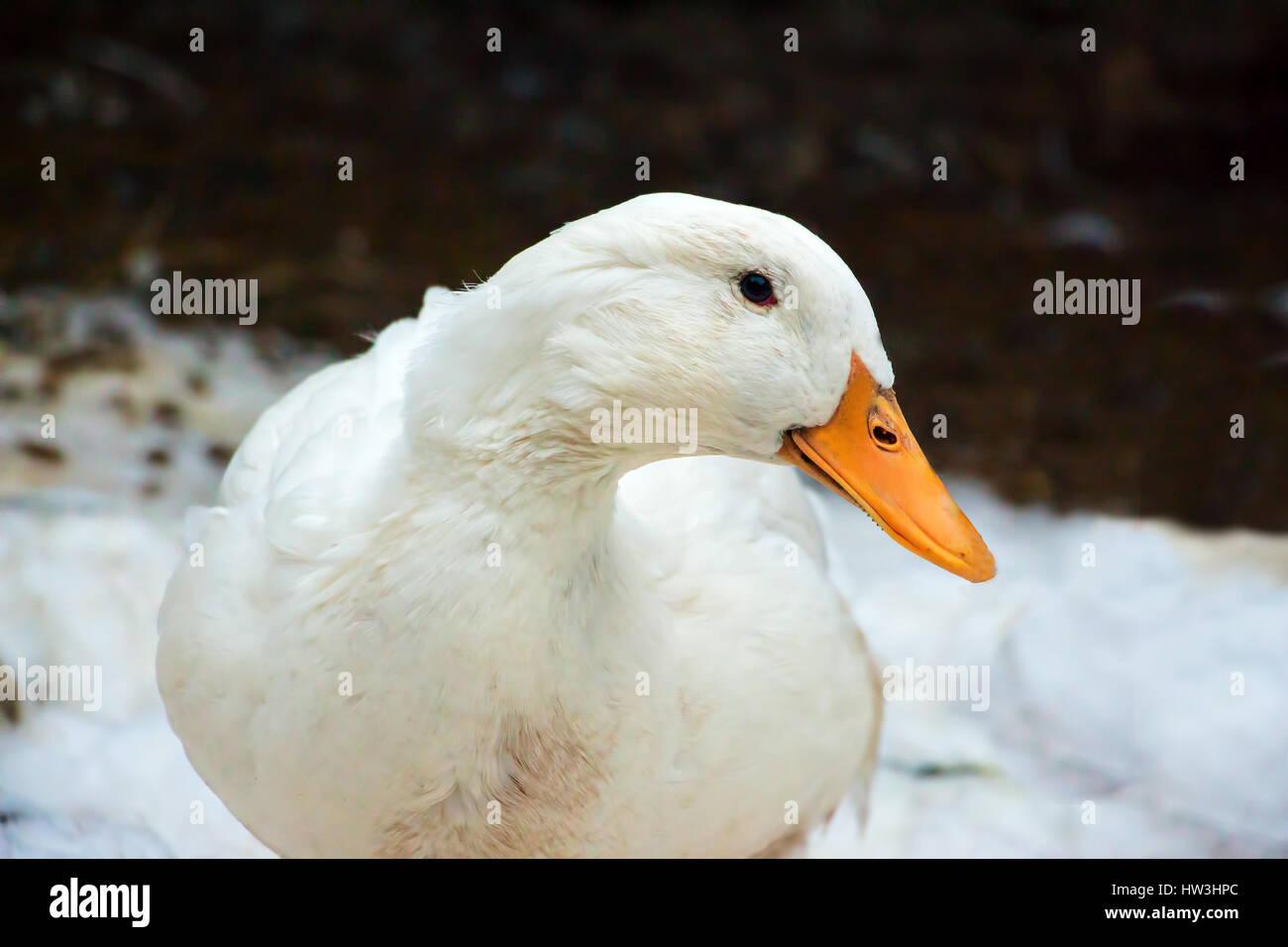 Real Pekin duck - Stock Image