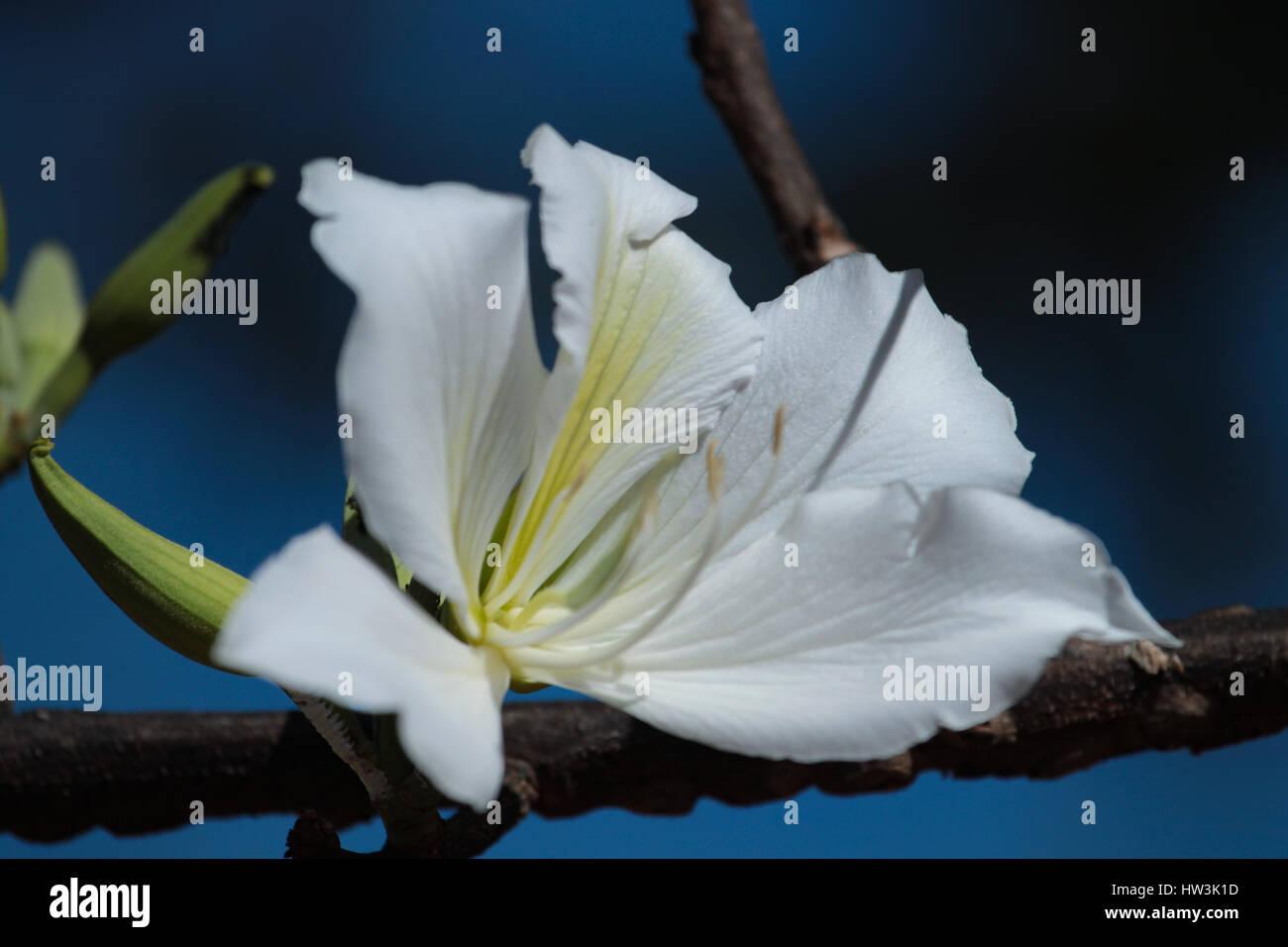 The white flower of Bauhinia variegata 'Candida' in blue sky. Brasilia, DF, Brazil. - Stock Image