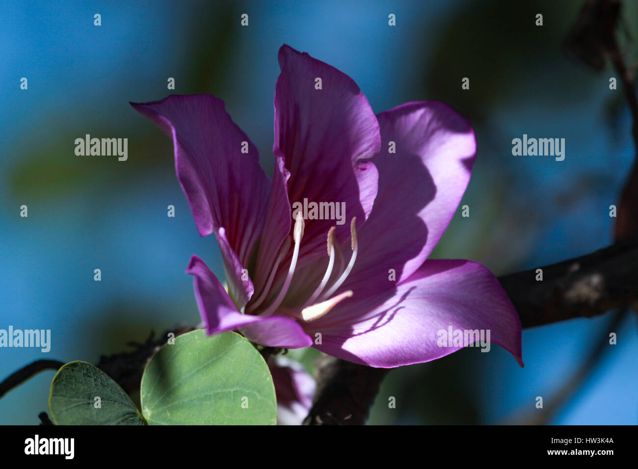Bauhinia blakeana commonly called the Hong Kong Orchid Tree - Stock Image