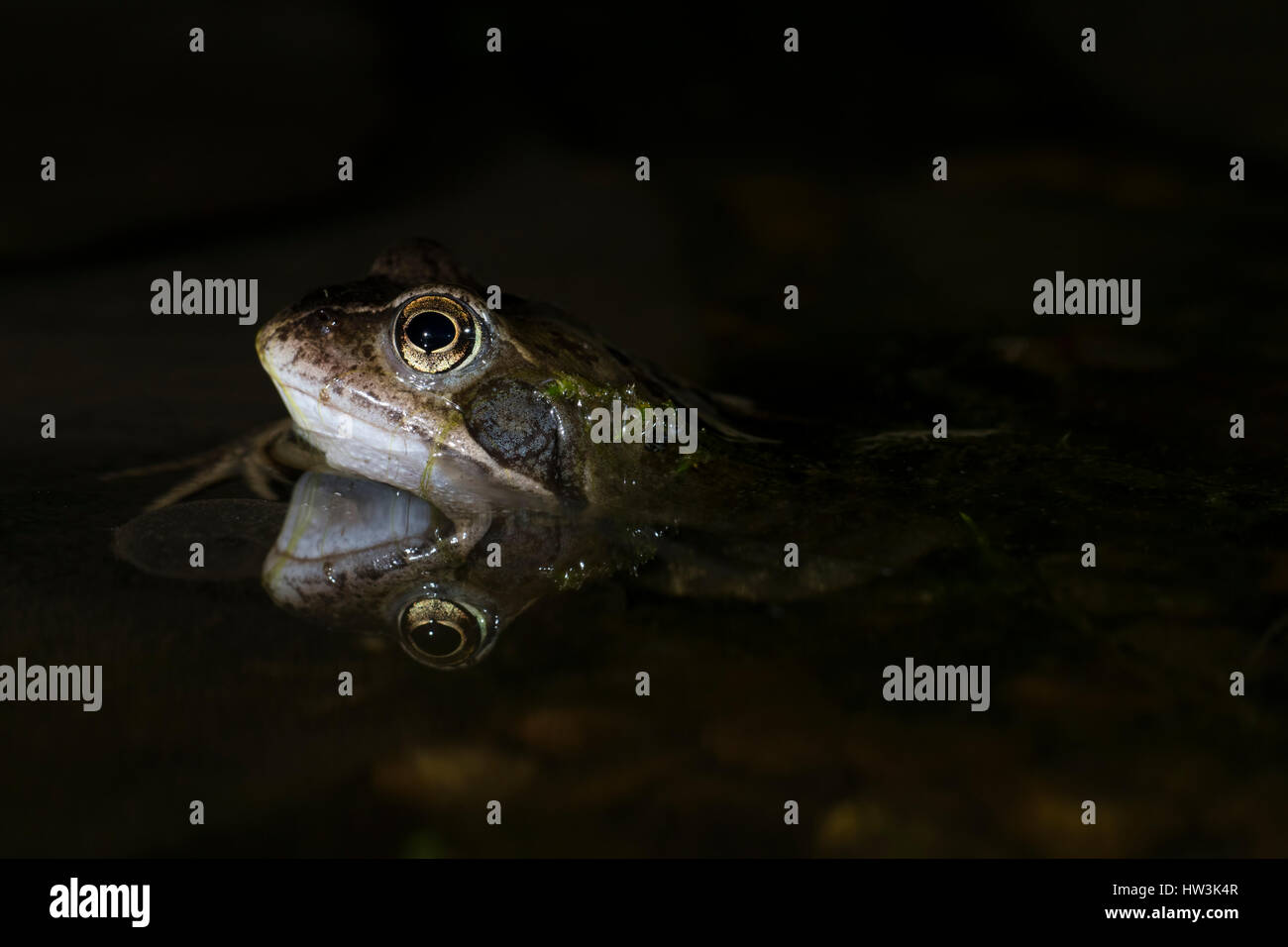 Close up of Common Frog (Rana Temporaria) in pond at night, Hastings,East Sussex, UK - Stock Image