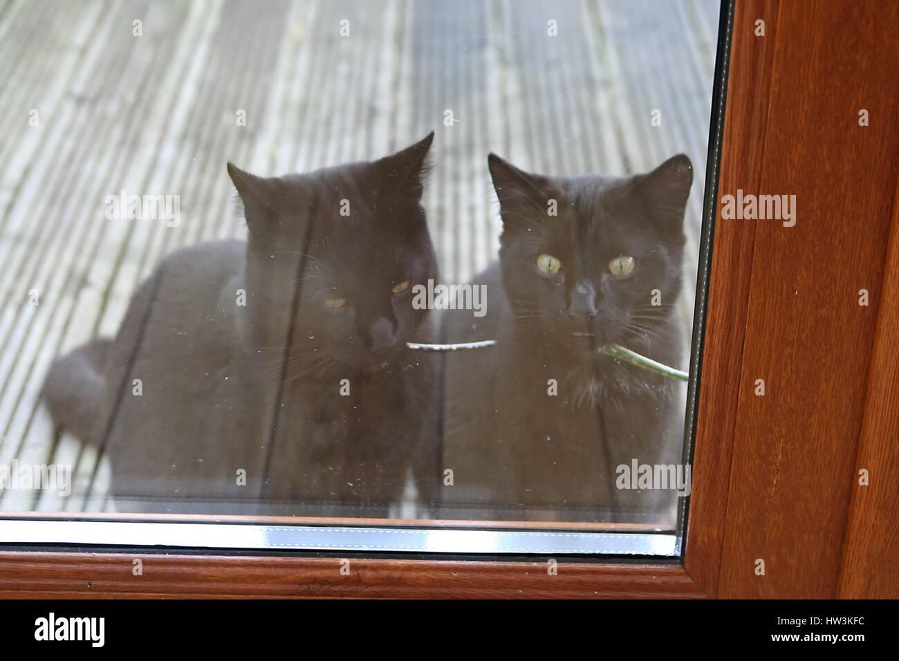 2 black cats looking, glass door cats wearing collars, waiting come in, impatient not happy grumpy, black cat concept - Stock Image