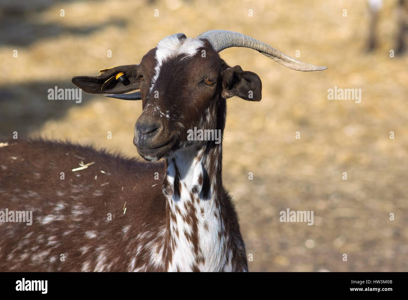 Goats of the Florida breed in agricultural exploitation in Spain - Stock Image