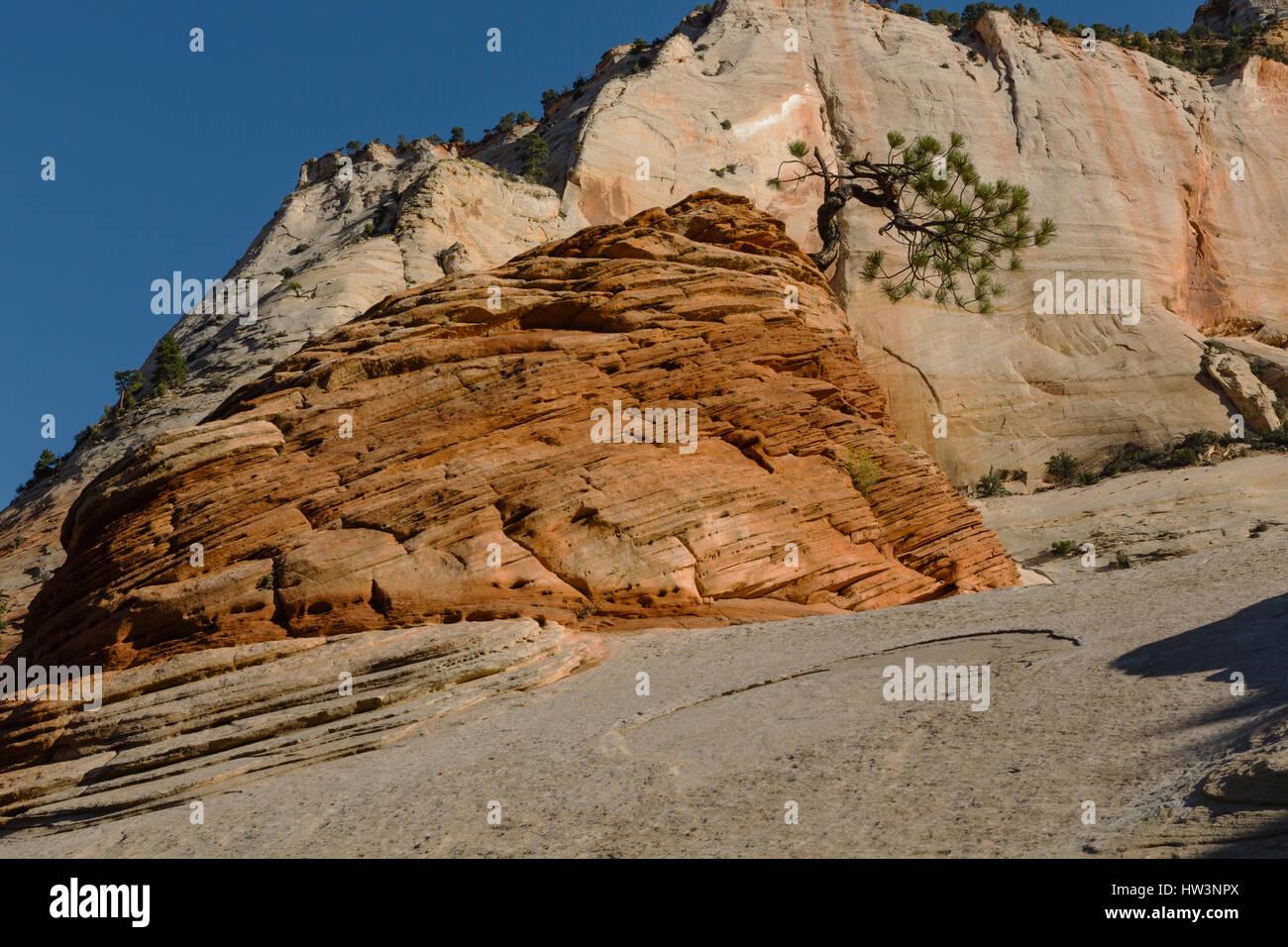Piñon Pine (Pinus edulis) growing on rock formation, Zion National Park, UT, USA - Stock Image