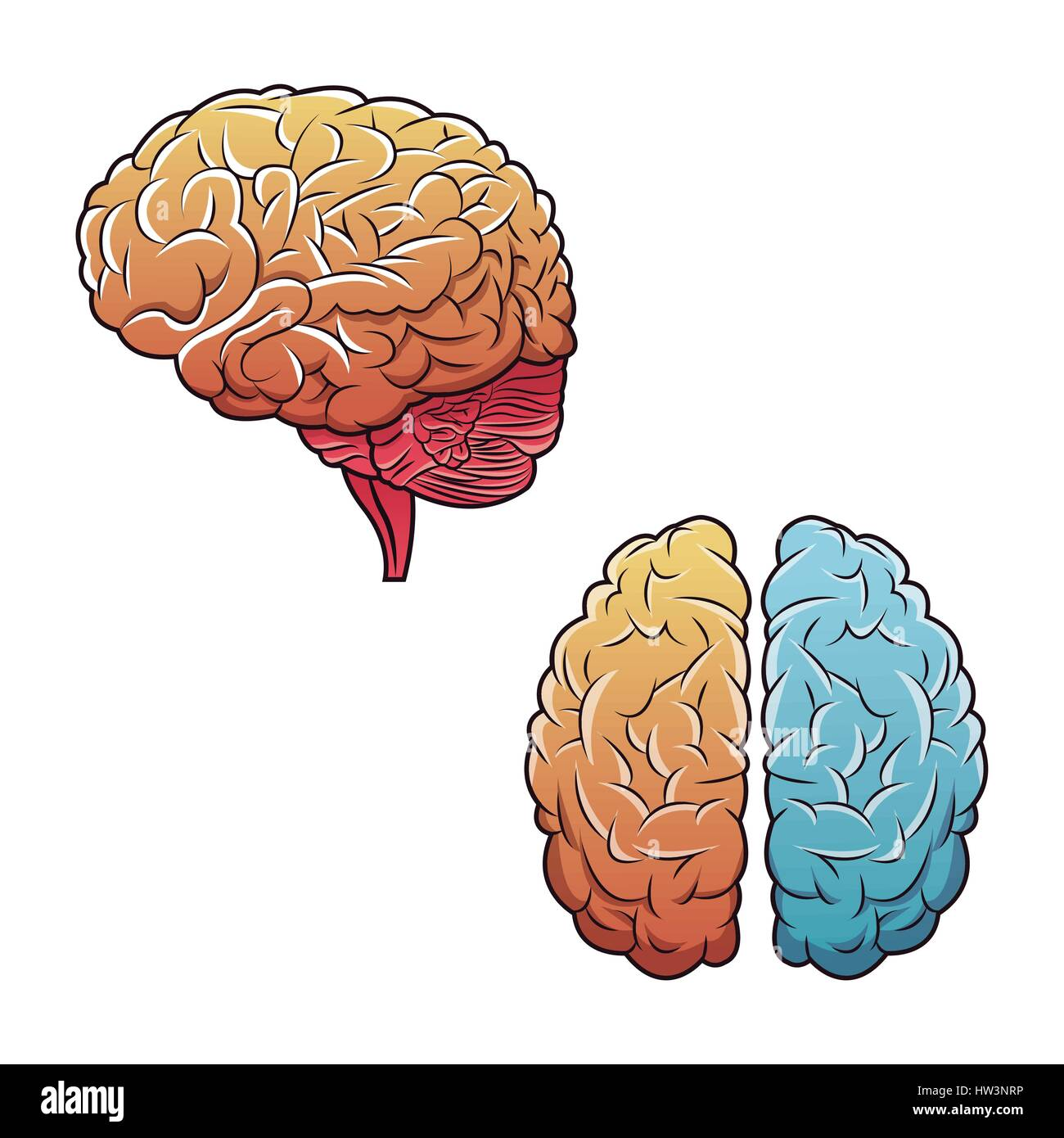 human brains top view and side - Stock Image
