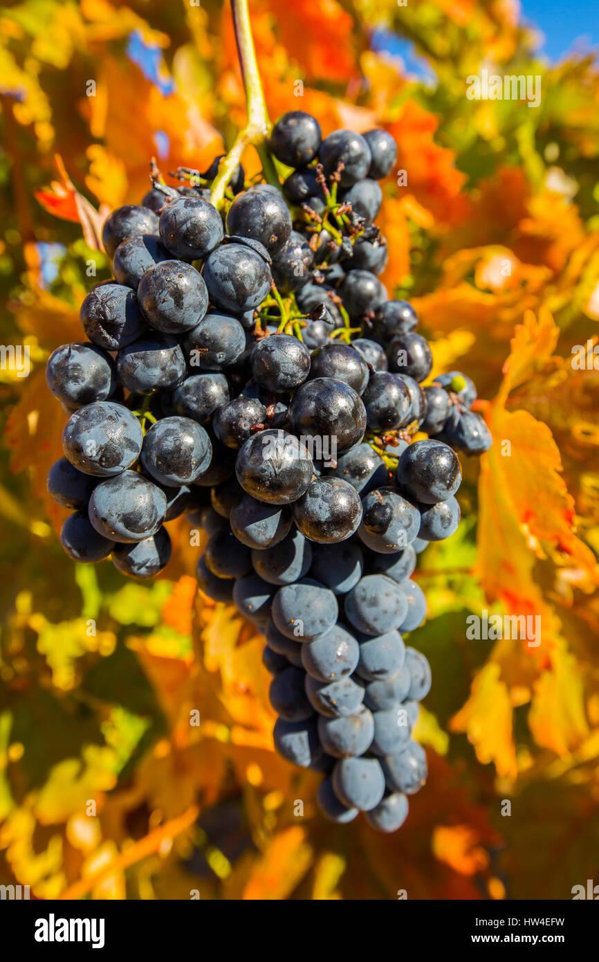 Vineyards in Aranda de Duero, Rivera del Duero wines district. Valladolid Castilla Leon, Spain Europe - Stock Image
