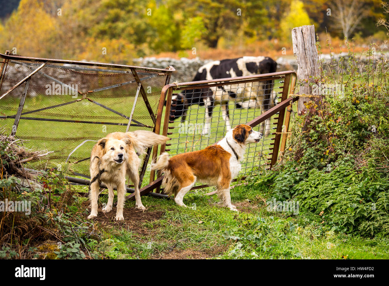 Dogs guarding the entrance to a farm. Las Machorras, Burgos. Castile and Leon Spain, Europe - Stock Image