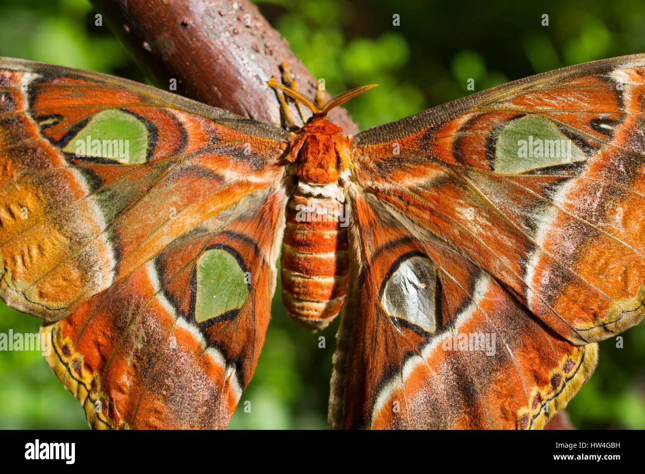 Attacus atlas. Benalmadena Butterfly Park, Costa del Sol, Malaga, Spain Europe - Stock Image