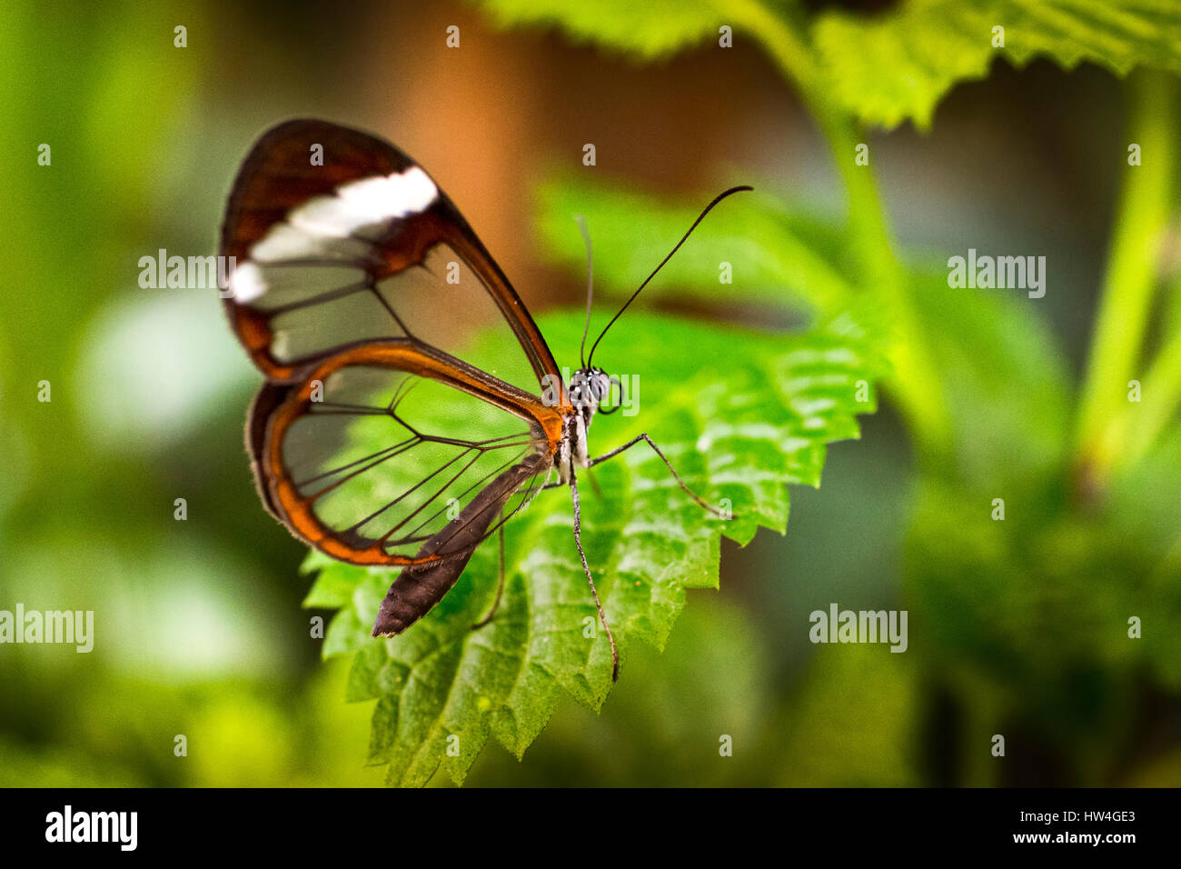 Greta oto butterfly. Glass butterfly or mirrors butterfly, transparent wings. Benalmadena Butterfly Park, Costa - Stock Image