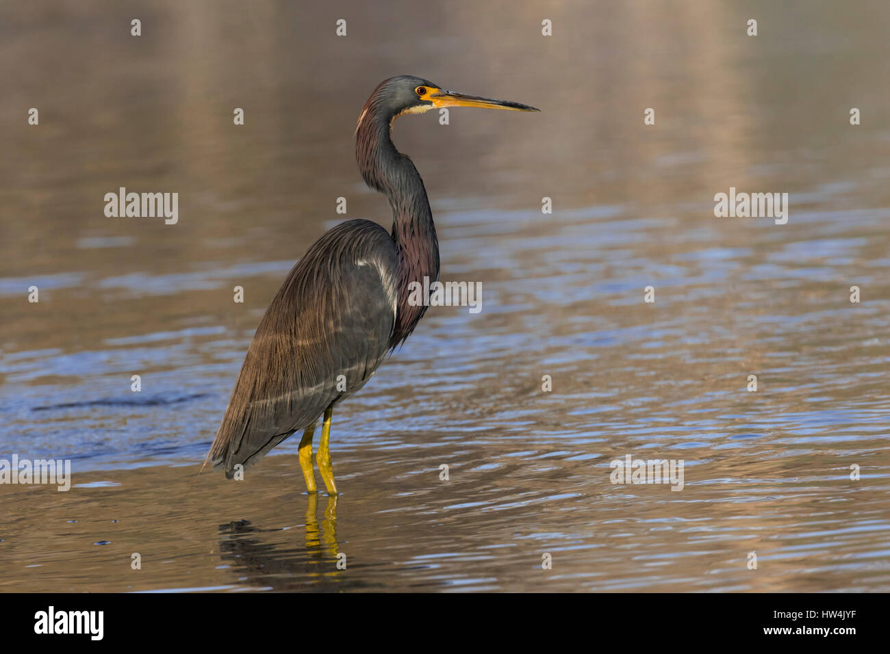 Tricolored Heron (Egretta tricolor) standing in water, Wakulla Springs State Park, FL, USA - Stock Image