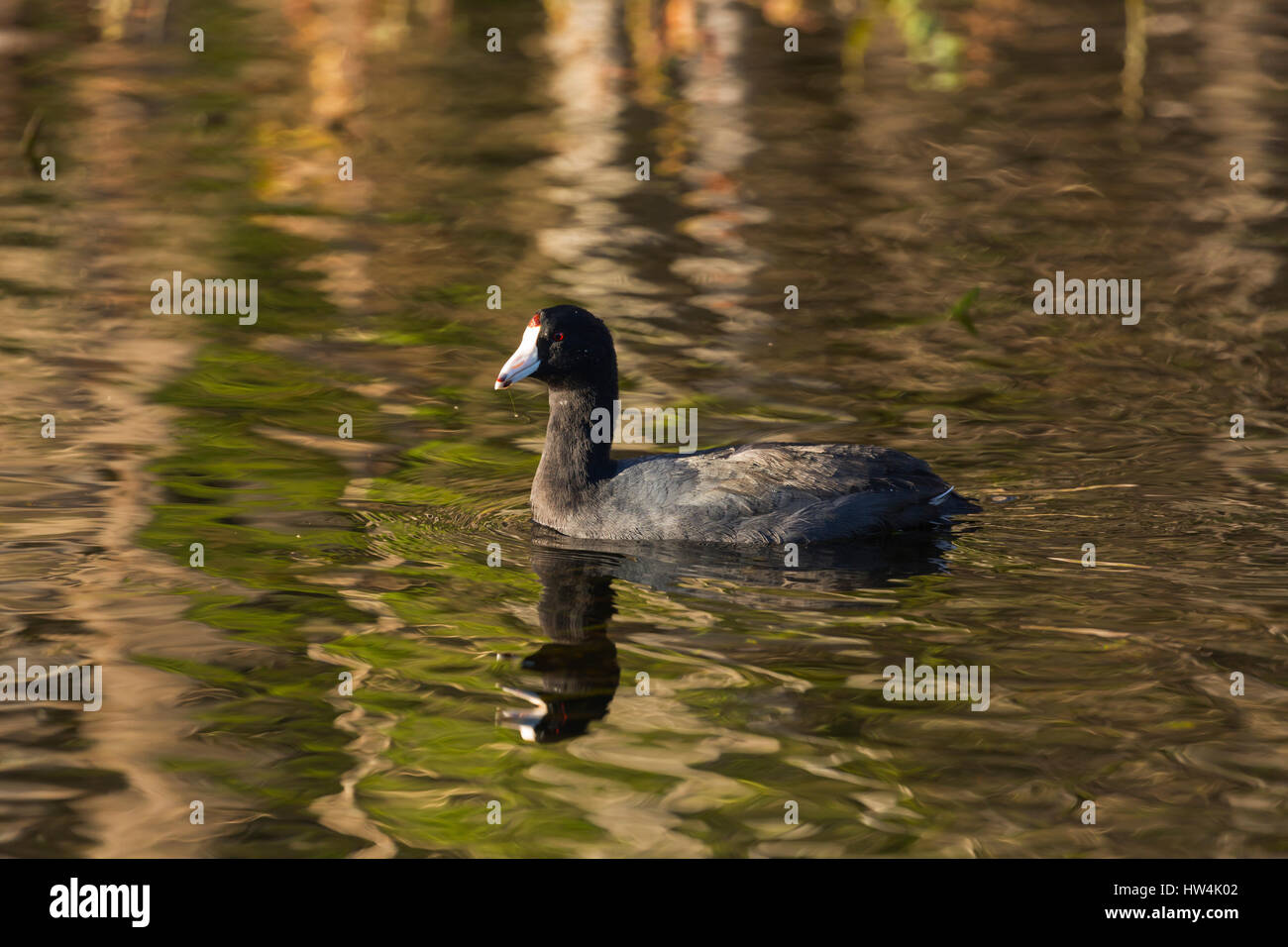 American coot (Fulica americana) swimming, Wakulla Springs State Park, FL, USA Stock Photo