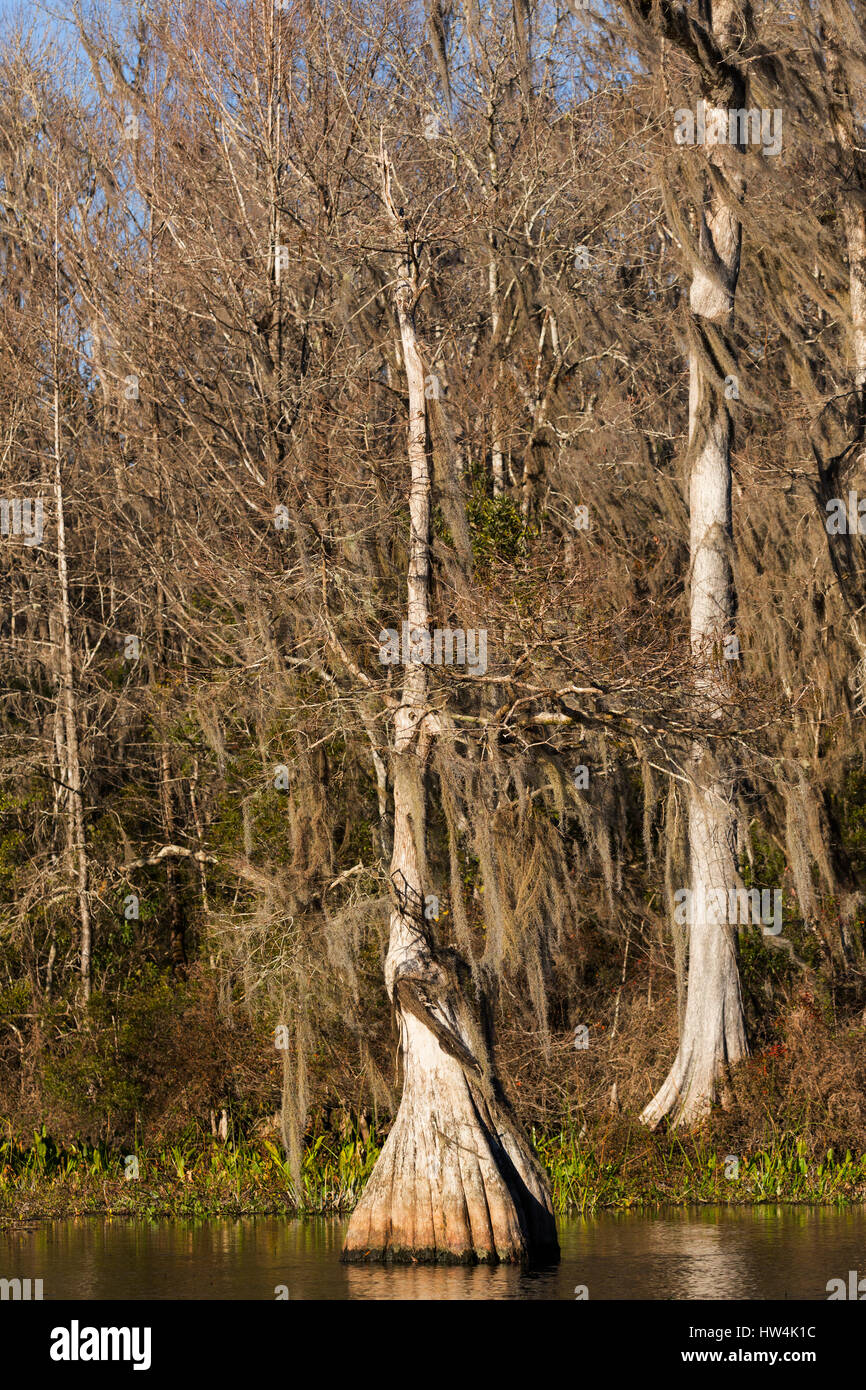 Bald Cypress (Taxodium distichum) on the Wakulla River, Wakulla Springs State Park, FL, USA Stock Photo