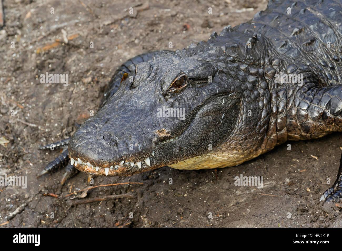 American Alligator (Alligator mississippiensis) portrait, St Augustine, FL, USA - Stock Image