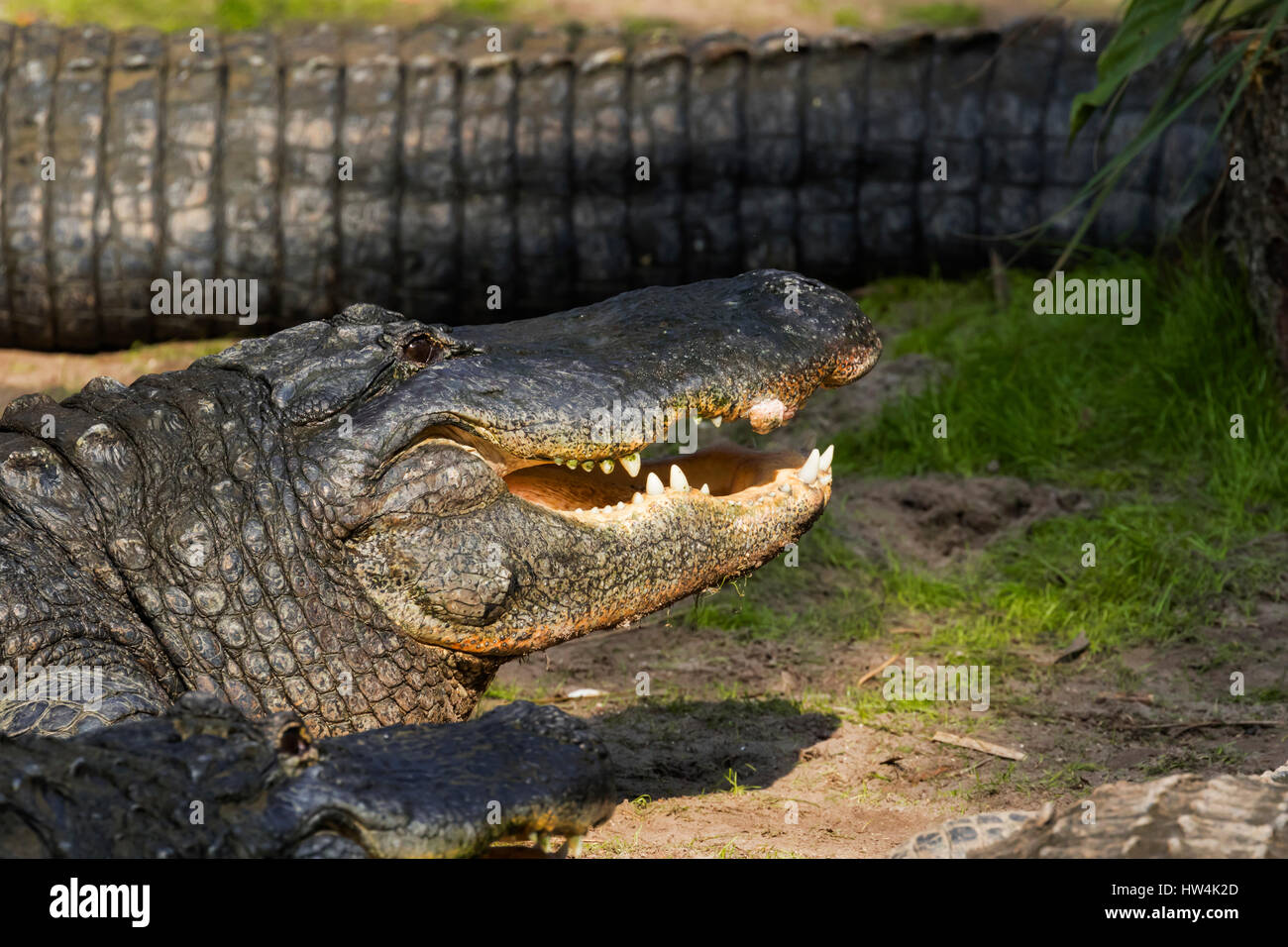 American Alligator (Alligator mississippiensis) bellowing, St Augustine, FL, USA - Stock Image
