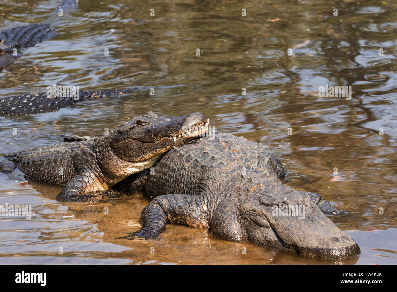 American Alligator (Alligator mississippiensis) resting on another, St Augustine, FL, USA - Stock Image