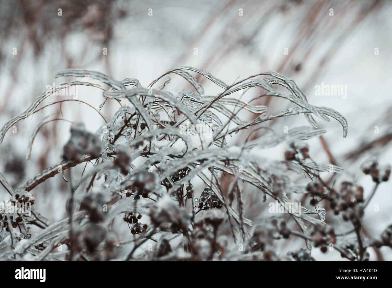 Winter view: plants covered with ice - Stock Image