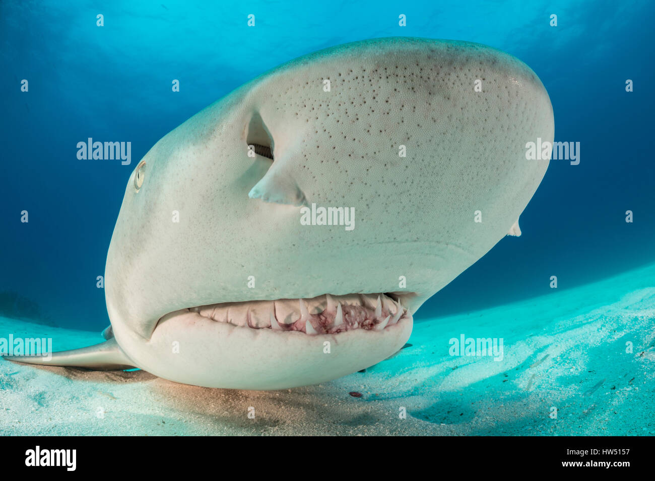 Lemon Shark, Negaprion brevirostris, Tiger Beach, Bahamas - Stock Image