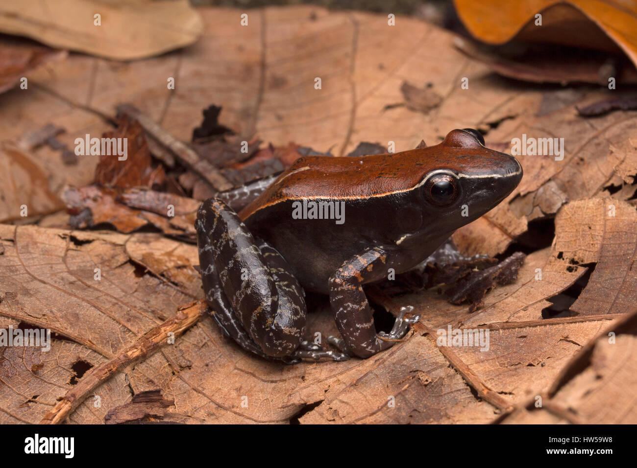 Mahogany frog (Hylarana luctuosa) - Stock Image