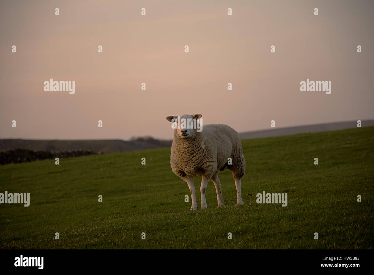 Lonely sheep on the field during sunset in Peak District National Park,Derbyshire,United Kingdom.Silent lamb. - Stock Image