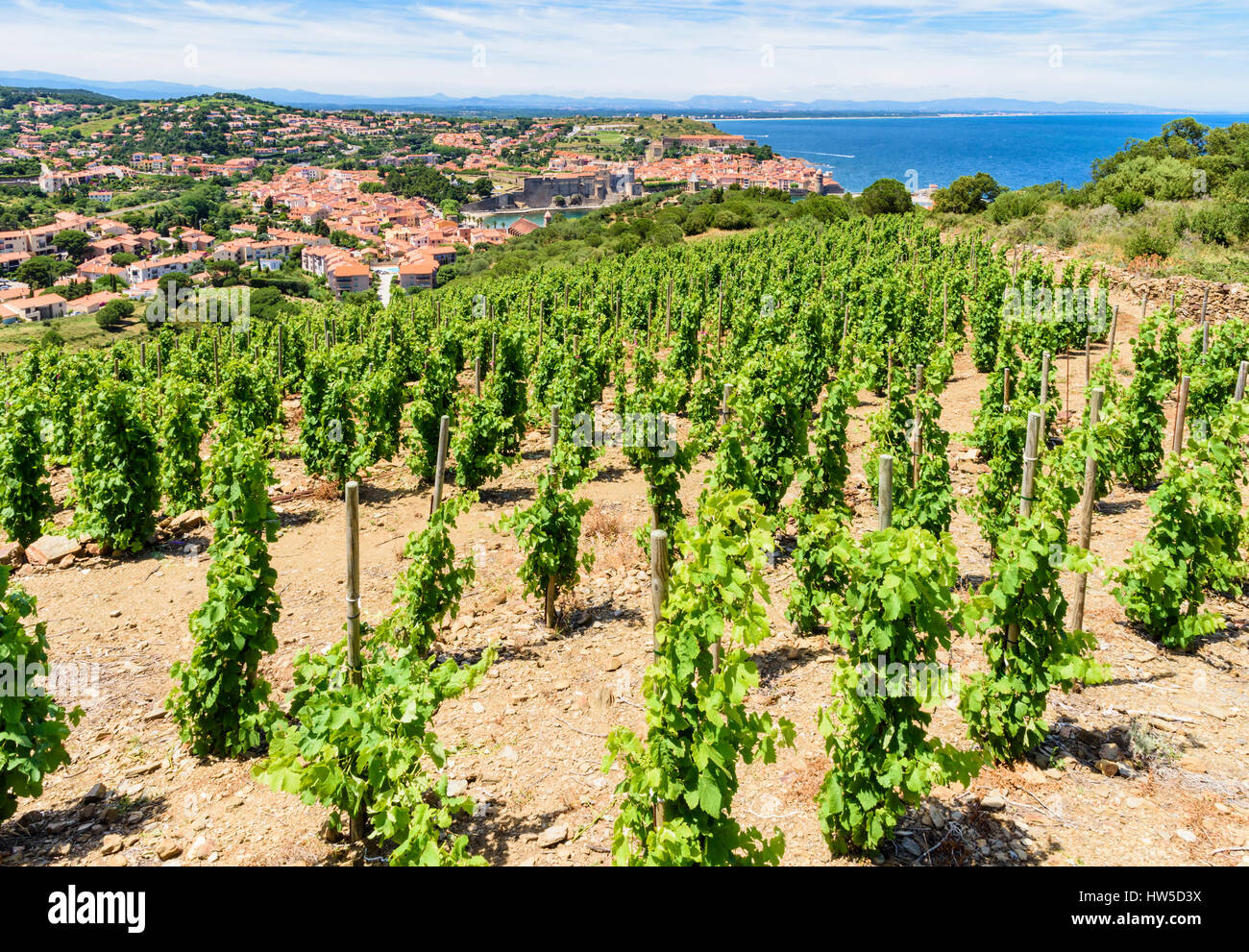 Vineyard grape vines overlooking the town of Collioure, Côte Vermeille, France - Stock Image