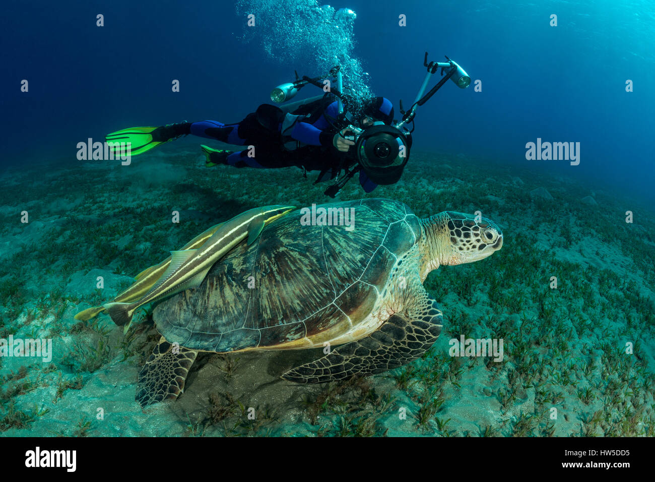 Green Sea Turtle and Diver, Chelonia mydas, Marsa Alam, Red Sea, Egypt - Stock Image