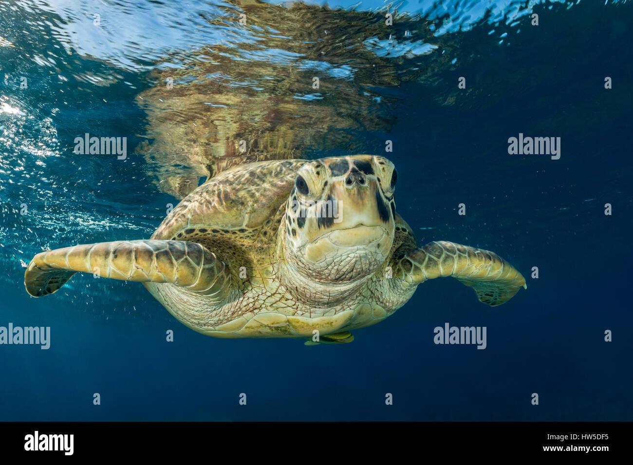 Green Sea Turtle, Chelonia mydas, Marsa Alam, Red Sea, Egypt - Stock Image