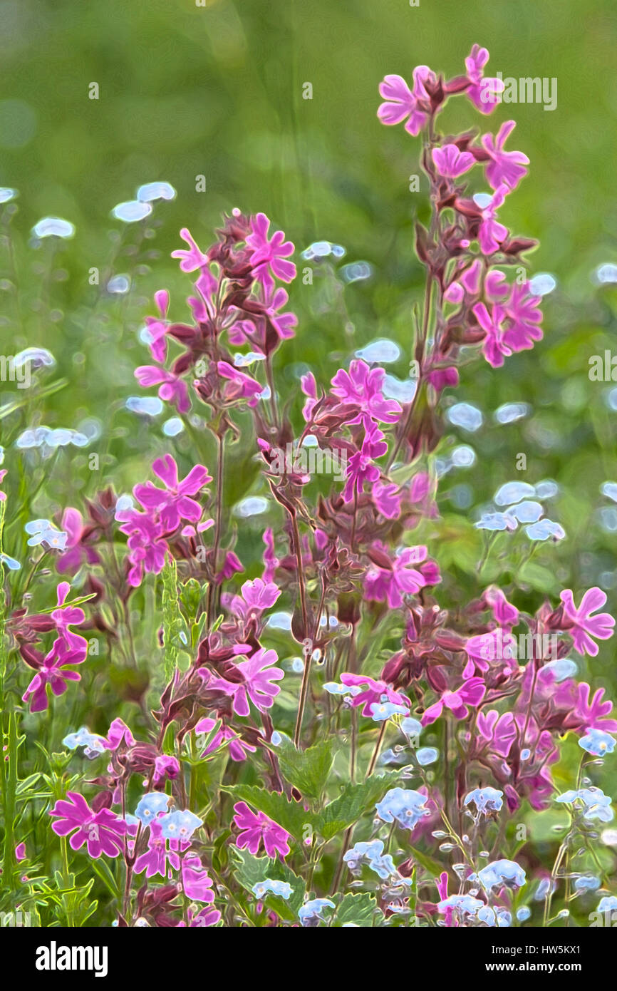 Red campion with added photoshop effects - Stock Image