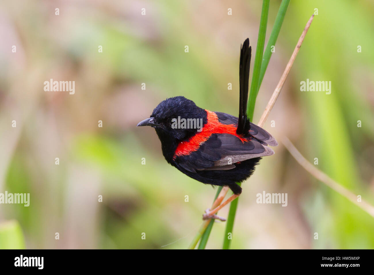 Red-backed Fairy-wren on its territory in a marsh at Atherton Tablelands, Queensland, Australia Stock Photo