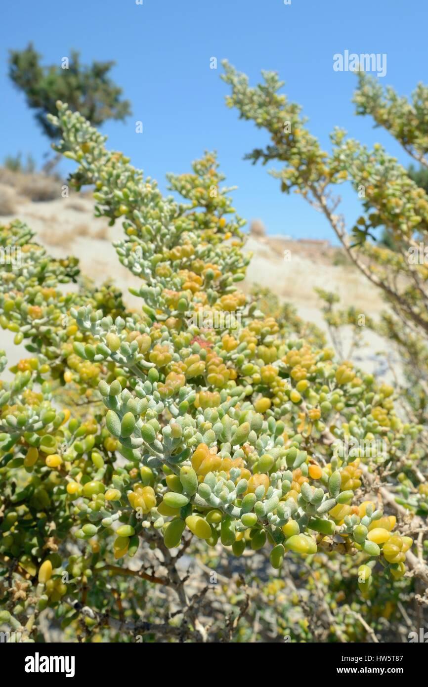 White bean caper (Xygophyllum album) bush growing on a beach with fruit capsules, Xerokambos, Sitia, Crete, Greece, Stock Photo