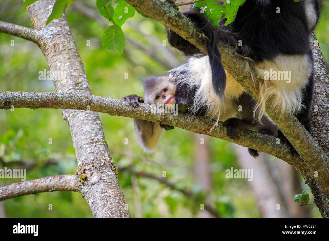 China, Yunnan province, Yunnan Snub-nosed Monkey (Rhinopithecus bieti), mating session Stock Photo
