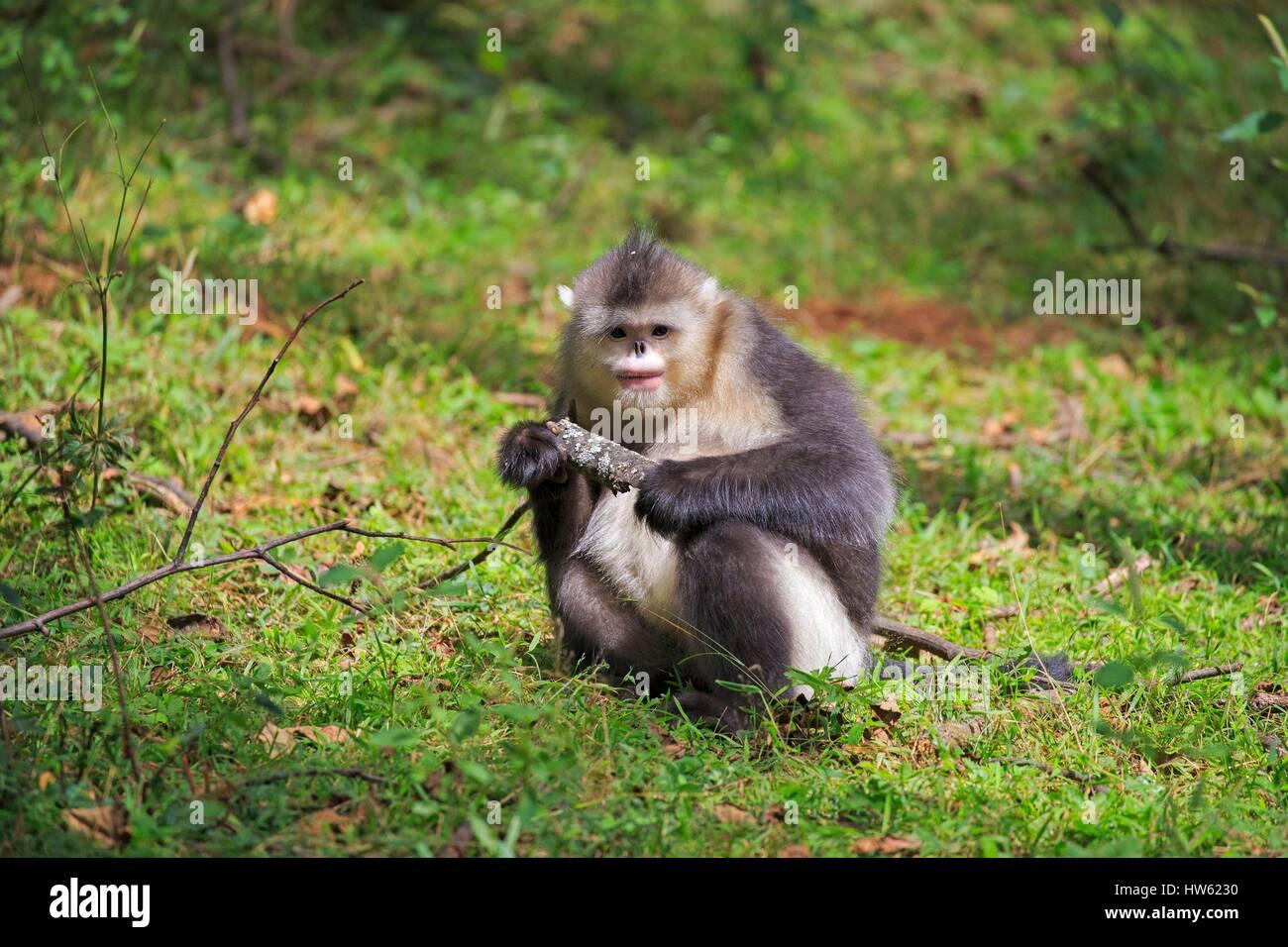 China, Yunnan province, Yunnan Snub-nosed Monkey (Rhinopithecus bieti) Stock Photo