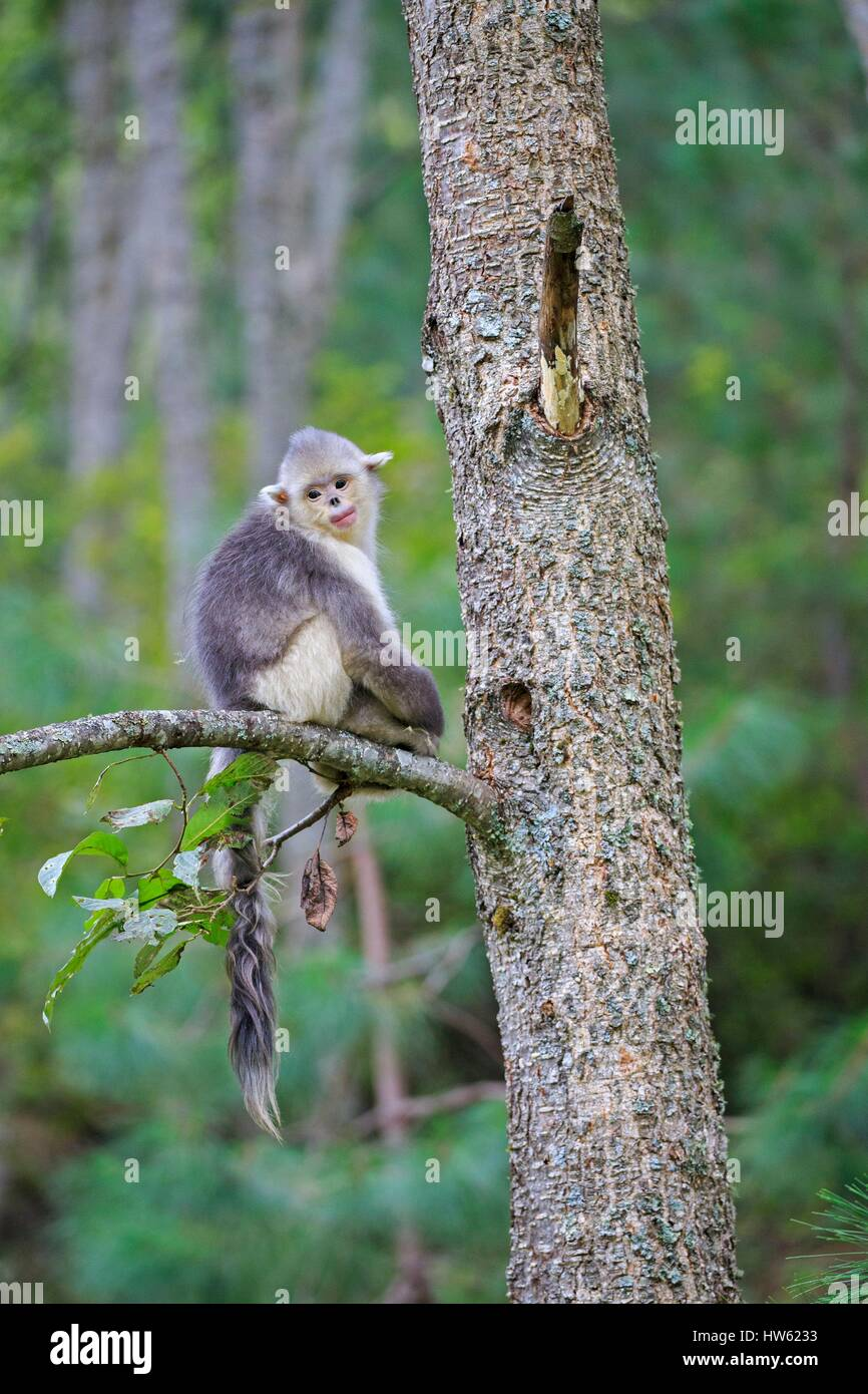 China, Yunnan province, Yunnan Snub-nosed Monkey (Rhinopithecus bieti), young in a tree - Stock Image
