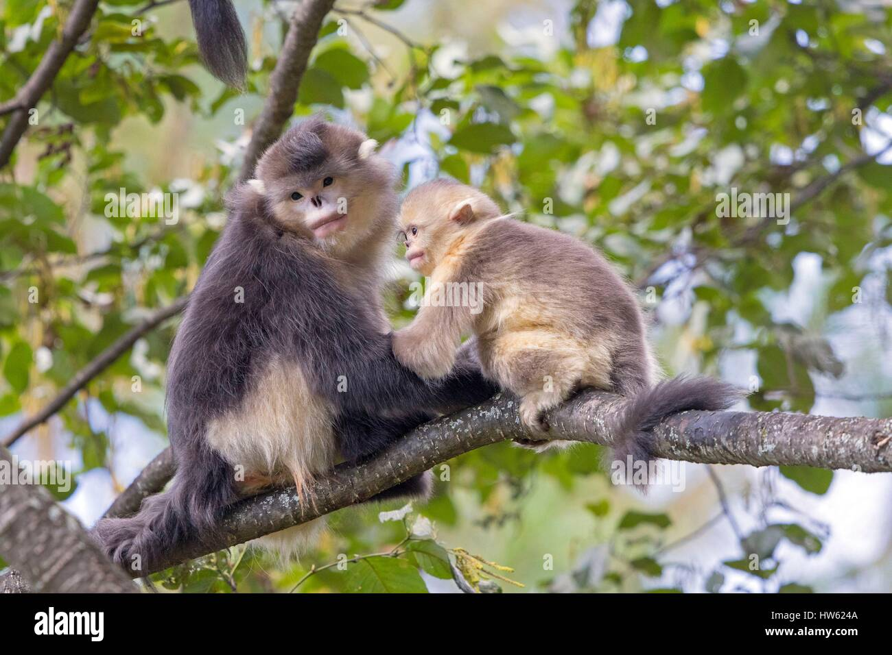 China, Yunnan province, Yunnan Snub-nosed Monkey (Rhinopithecus bieti), mother and baby - Stock Image