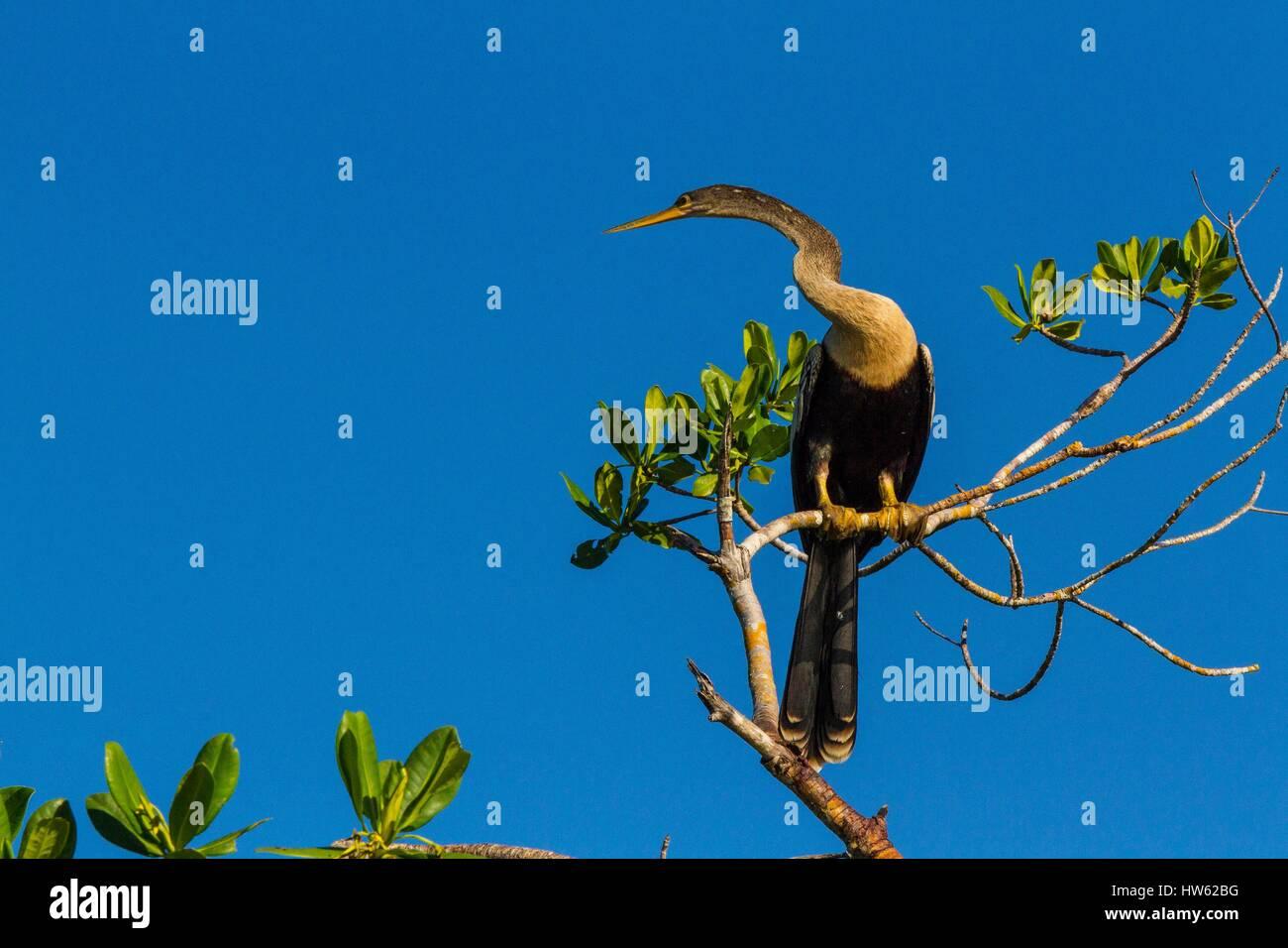 Cuba, Cienfuegos province, Cienfuegos, the Reserve Laguna de Guanaroca, snake bird, Anhinga (Anhinga anhinga) - Stock Image