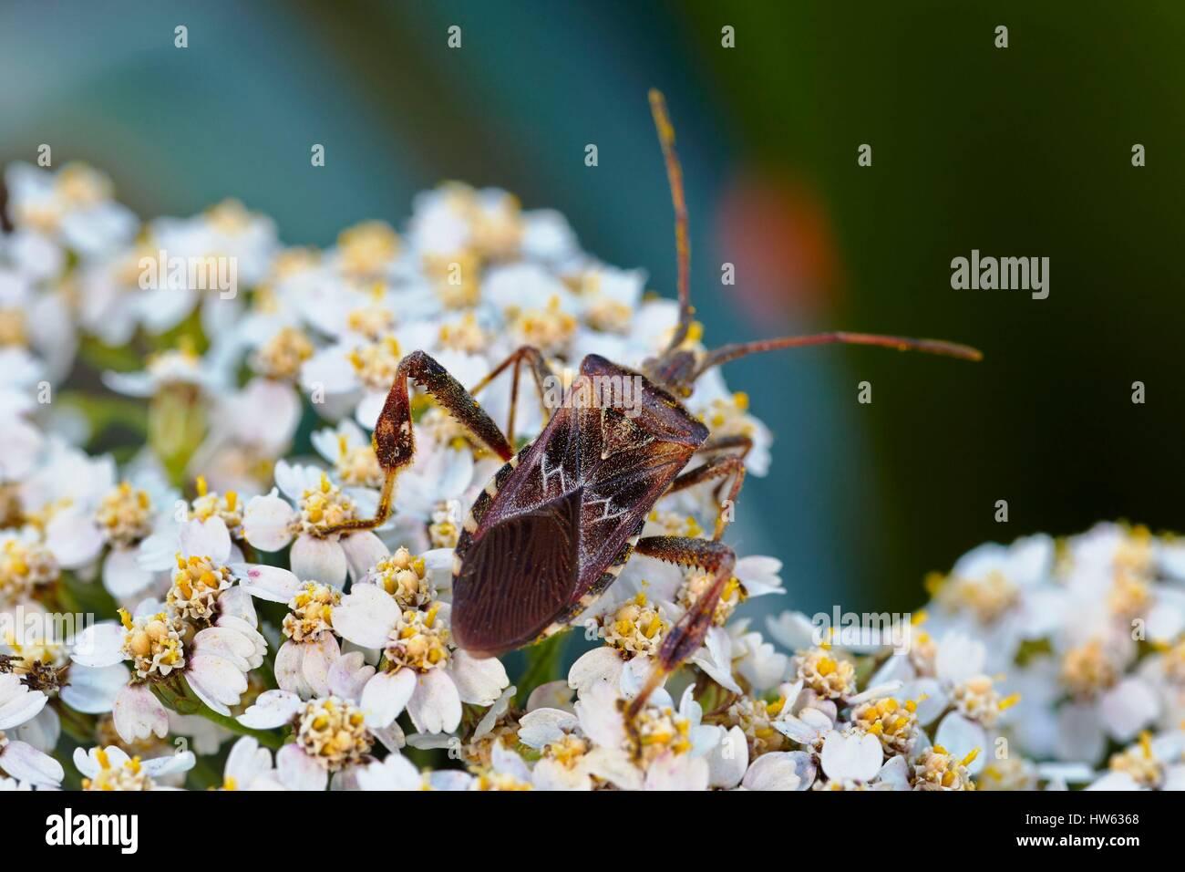 France, Morbihan, Hemiptera, Coreidae, Western conifer seed bug or Leaf-footed bug (Leptoglossus occidentalis) - Stock Image