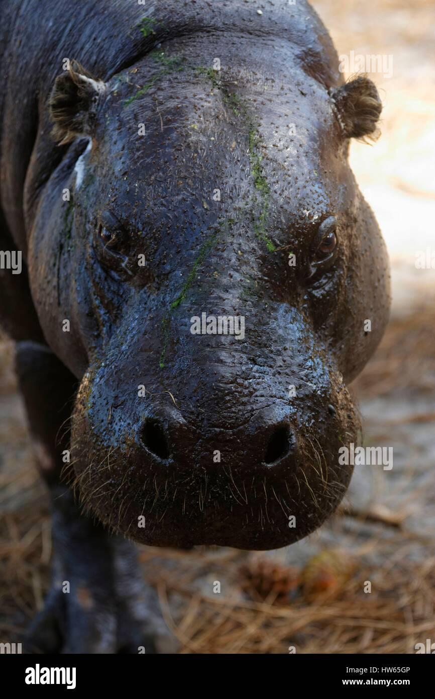 France, Gironde, Bassin d'Arcachon, La Teste, Zoo, pygmy hippo (Hexaprotodon liberiensis) - Stock Image