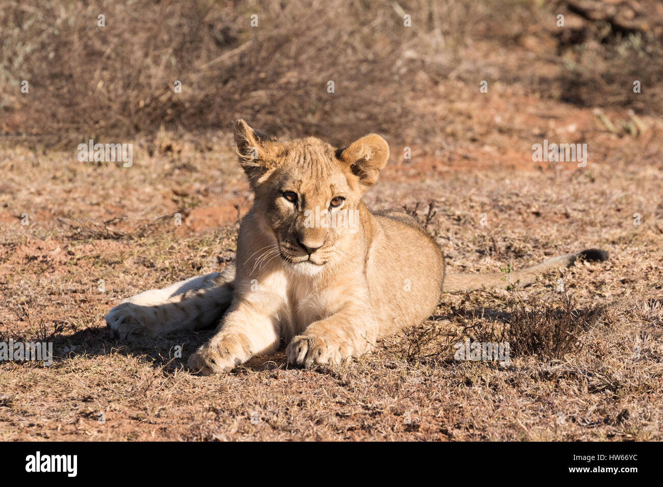 Lion cub, 4 months old,  Panthera Leo, wild, South Africa - Stock Image