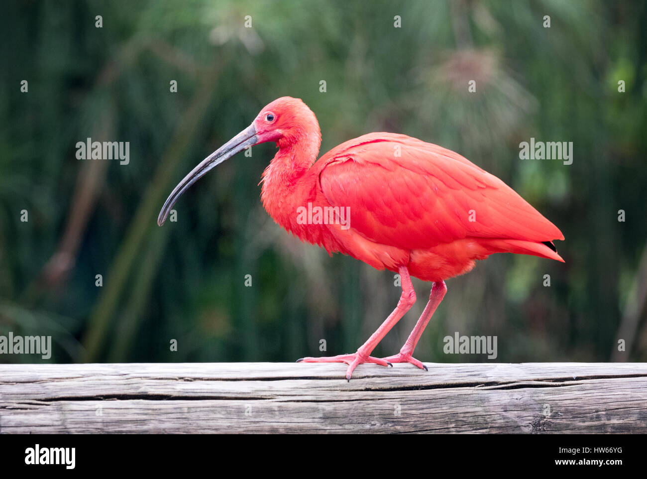 Scarlet Ibis, adult bird, side view, Eudocimus ruber, a colourful ibis from South America - Stock Image