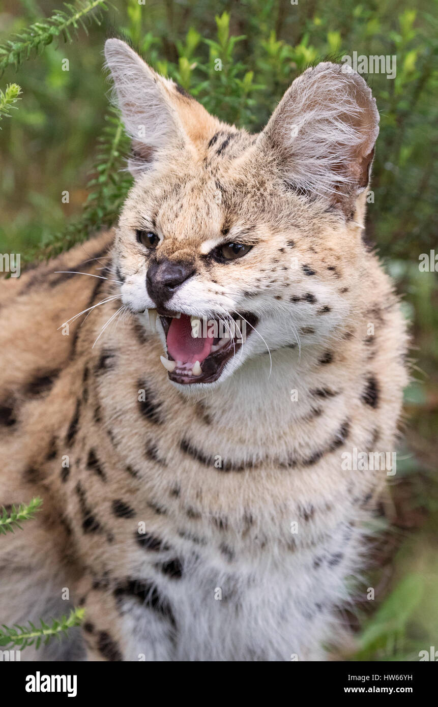 Serval cat, adult female close up - Leptailurus serval, South Africa - Stock Image