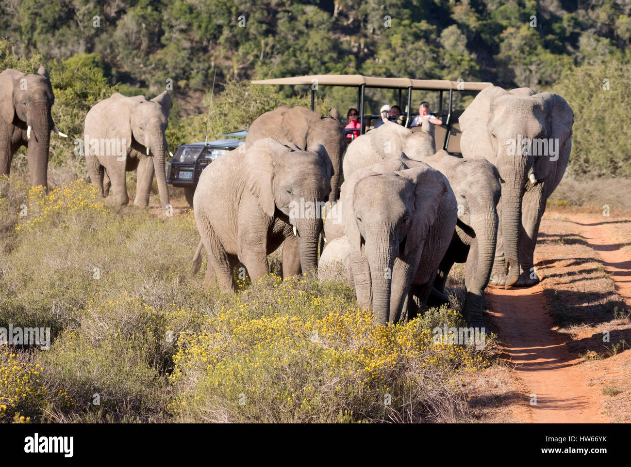 Africa safari - a jeep and african elephants, Shamwari Game reserve, Eastern Cape, South Africa - Stock Image