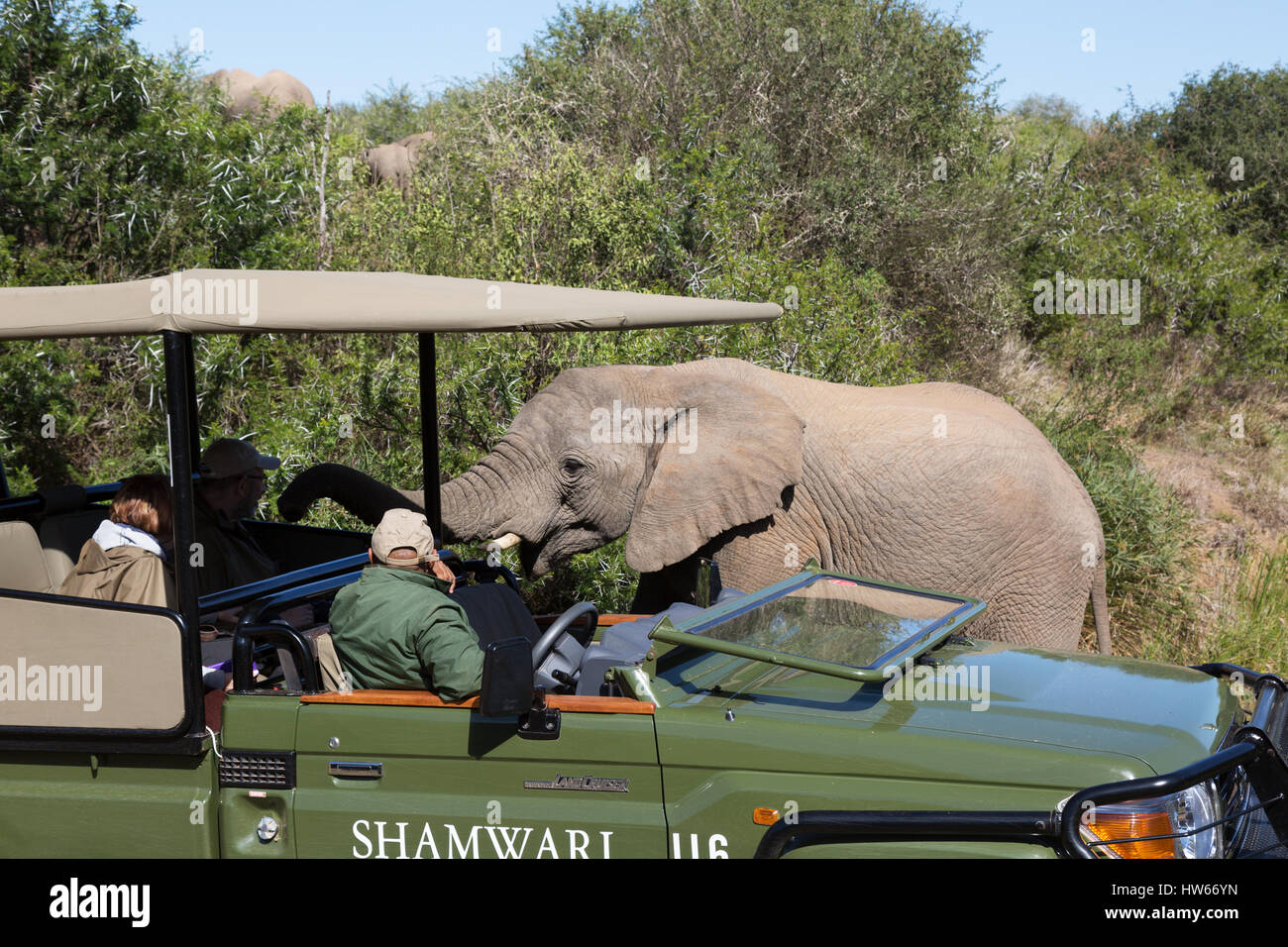 South Africa safari - elephant greeting tourists on a jeep safari, Shamwari Game Reserve, Eastern Cape, South Africa - Stock Image
