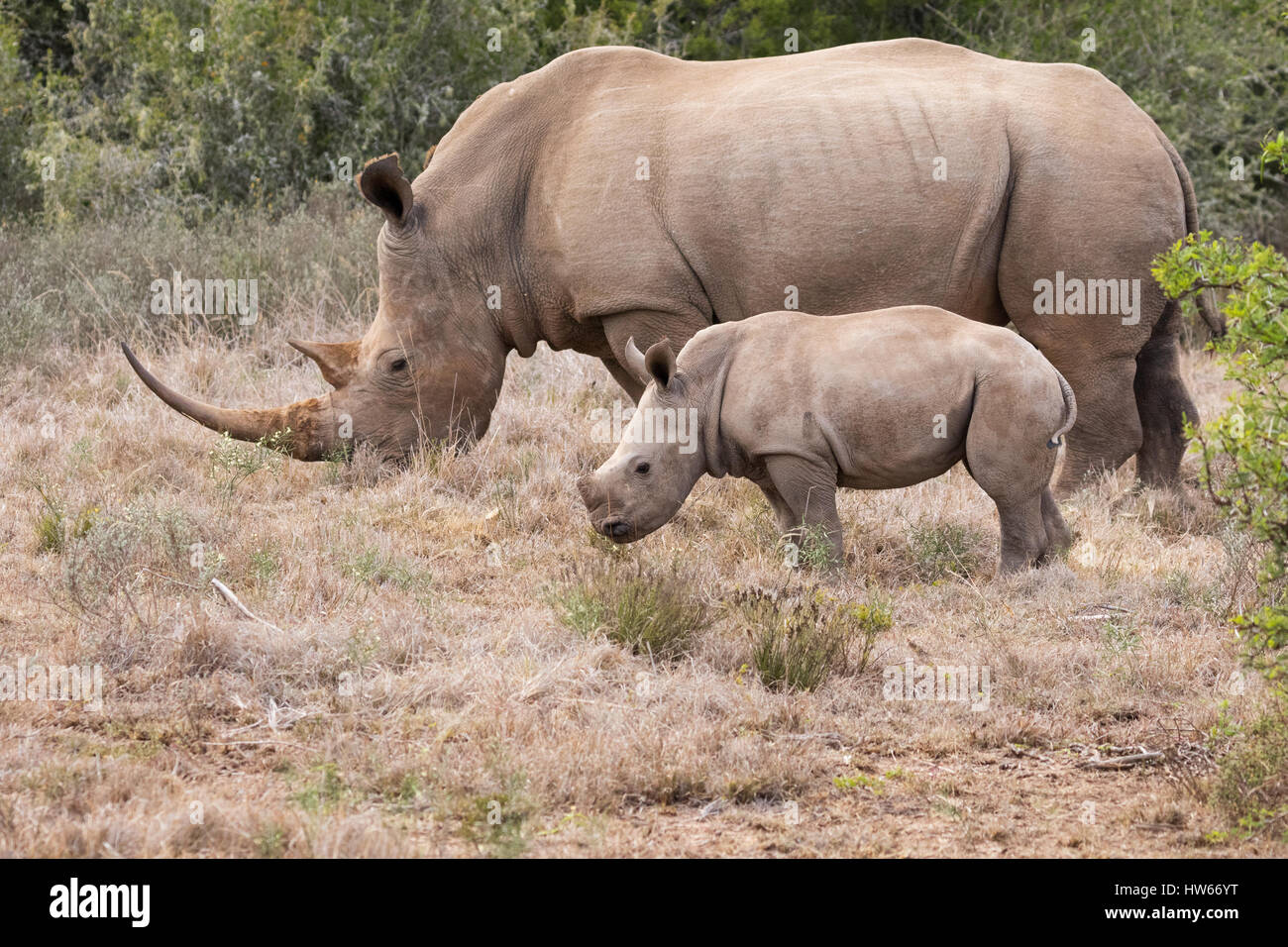 White Rhino, Mother and baby, or adult and calf, Ceratotheirum Simum, South Africa - Stock Image