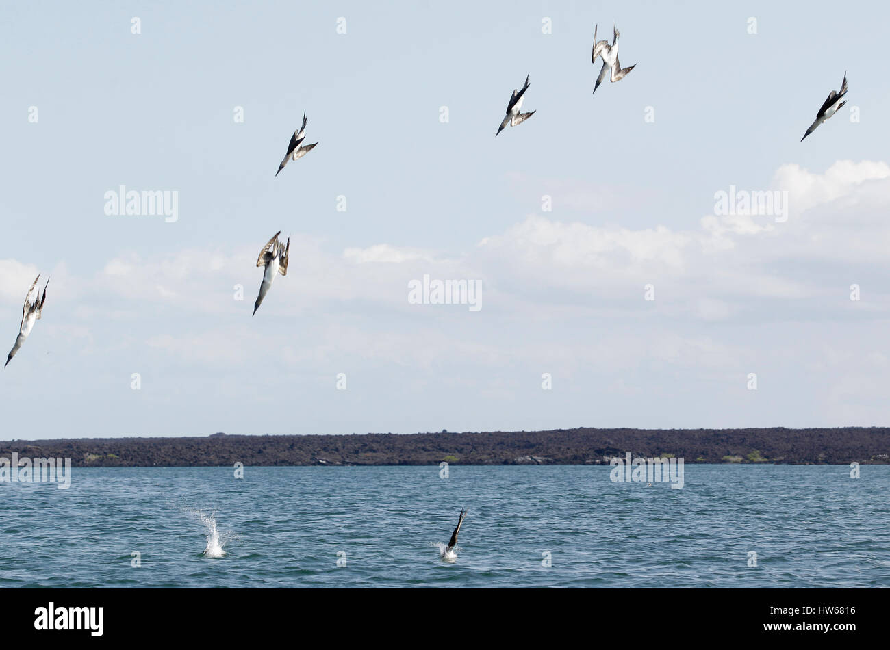 Blue-footed boobies dive and plunge into the water in search of fish in Punta Espinosa off the coast of Fernandina - Stock Image