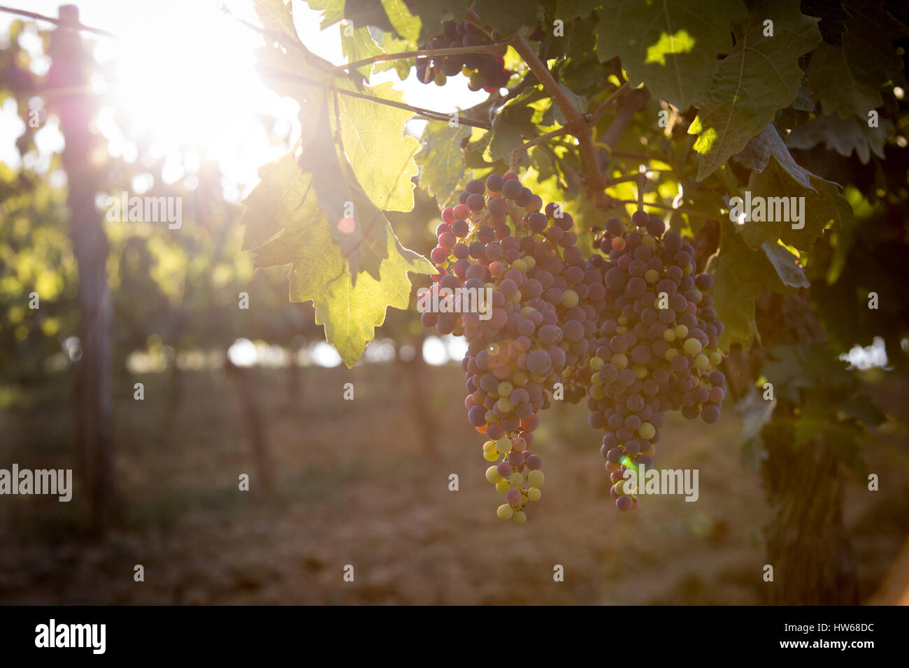 Grapes on the vine - Stock Image