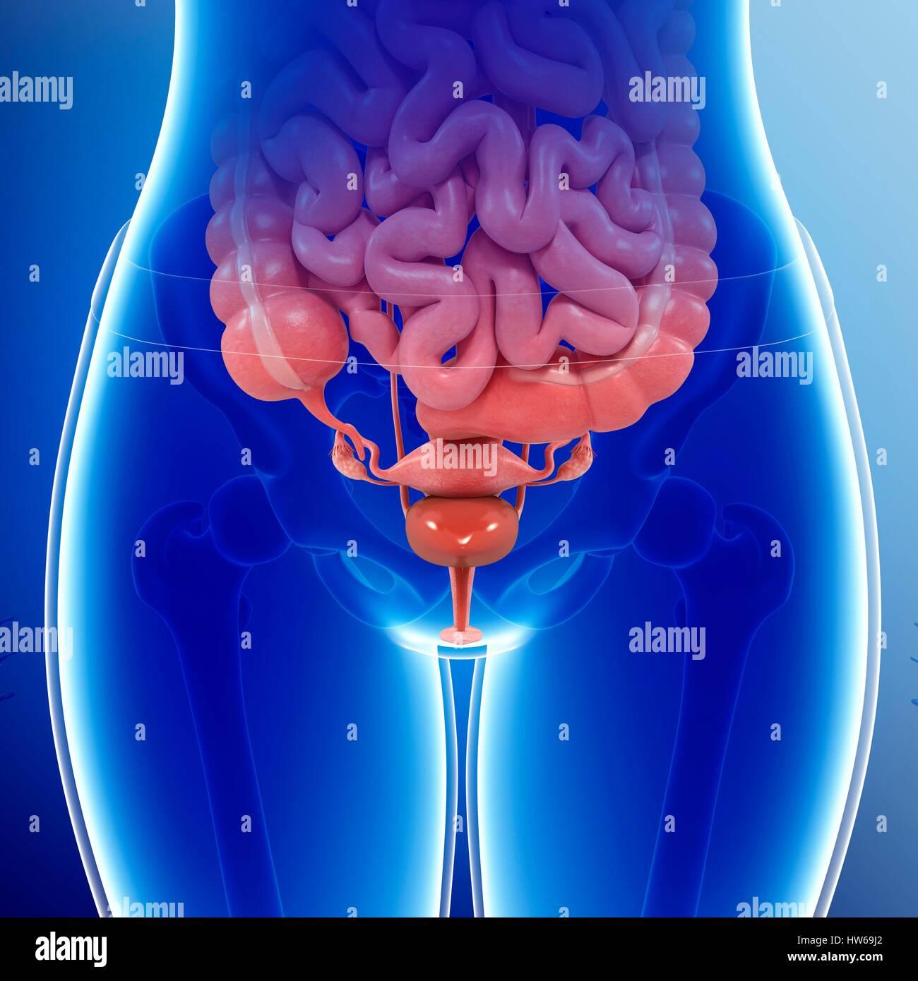 Pelvic Organs Stock Photos & Pelvic Organs Stock Images - Alamy
