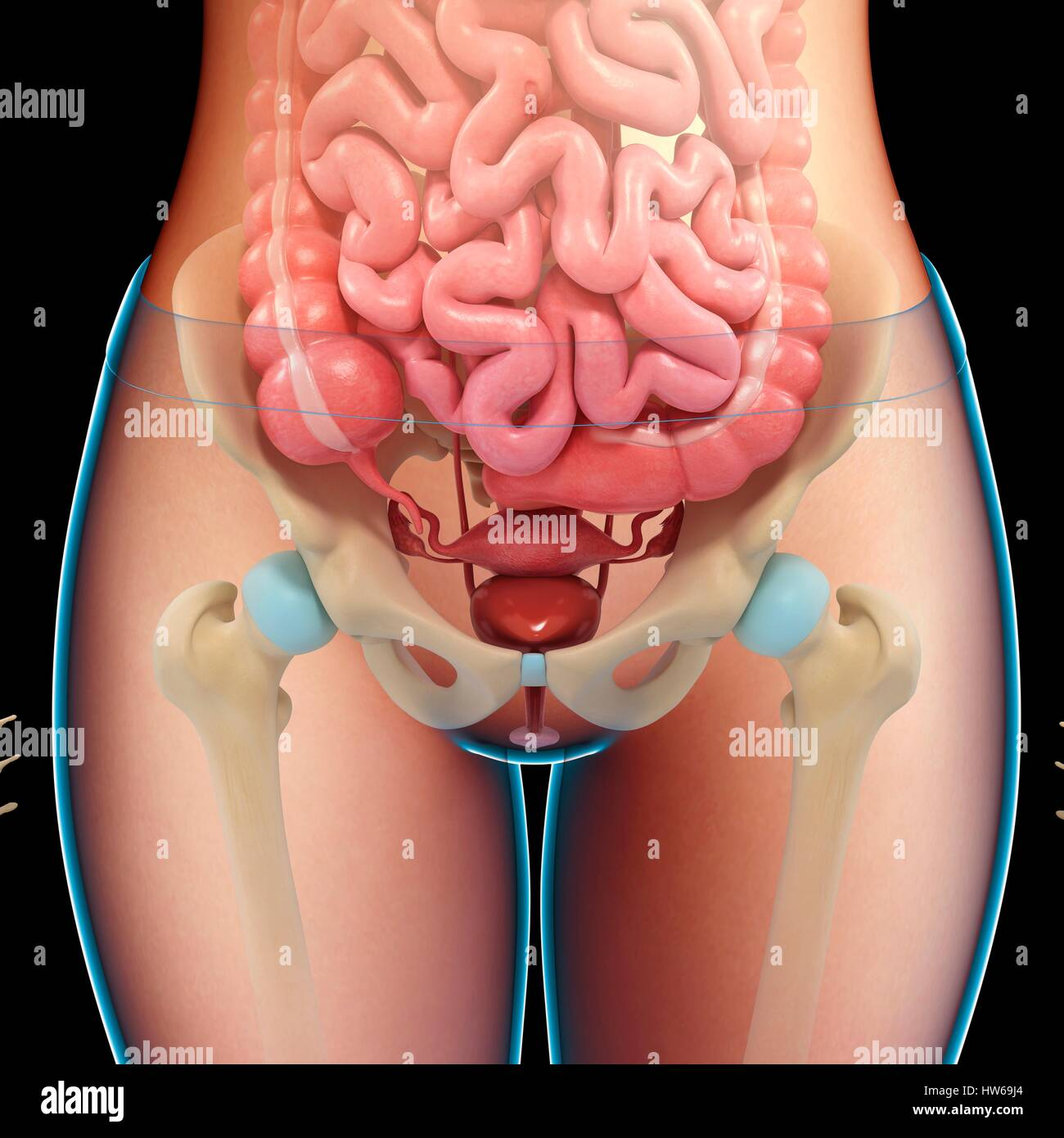 Illustration of female pelvic organs and bones Stock Photo ...