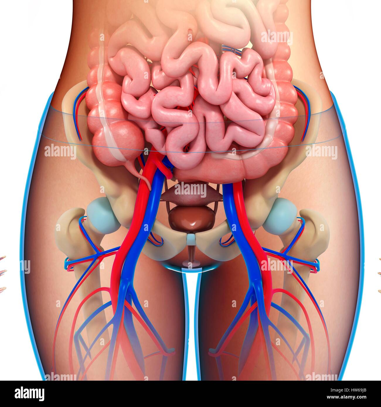 Illustration of female pelvic anatomy Stock Photo: 135978259 - Alamy